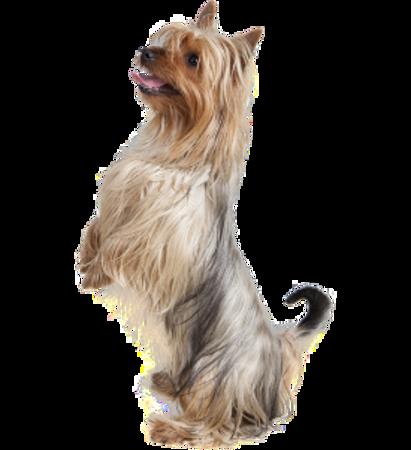 Bild für Kategorie Australian Silky Terrier