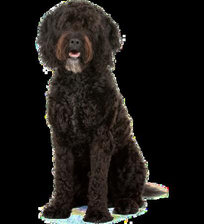 Bild für Kategorie Französischer Wasserhund