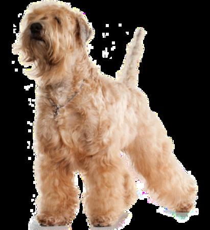 Bild für Kategorie Soft Coated Wheaten Terrier