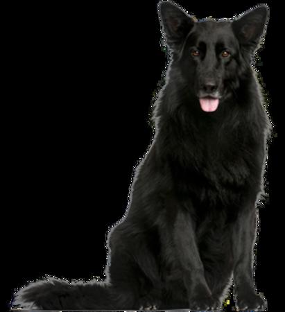 Bild für Kategorie Belgischer Schäferhund - Groenendael