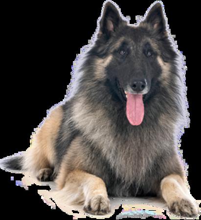 Bild für Kategorie Belgischer Schäferhund - Tervueren