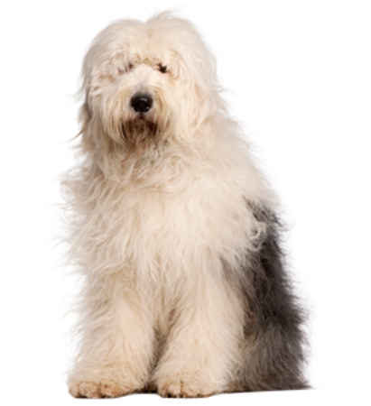 Bild für Kategorie Altenglischer Schaferhund