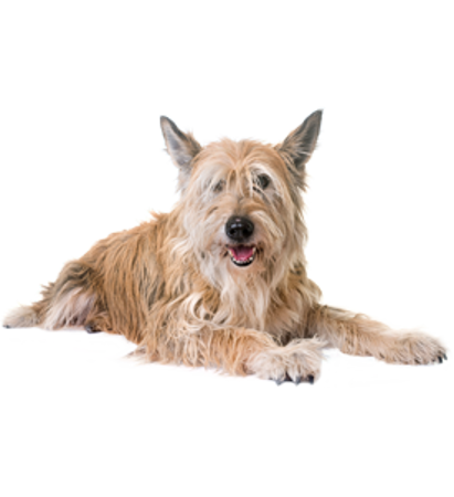 Bild für Kategorie Picardie Schäferhund