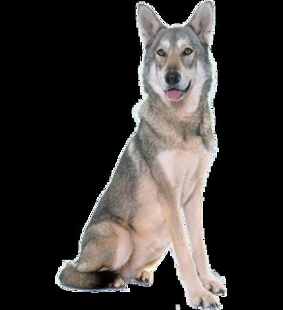 Bild für Kategorie Saarlooswolfhund