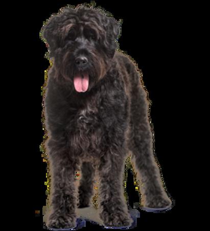 Bild für Kategorie Flandrischer Treibhund