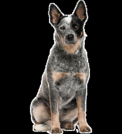 Bild für Kategorie Australischer Treibhund