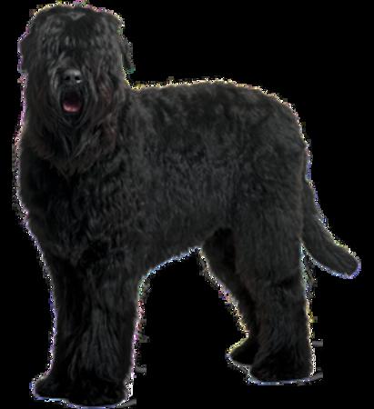 Bild für Kategorie Russischer Schwarzer Terrier