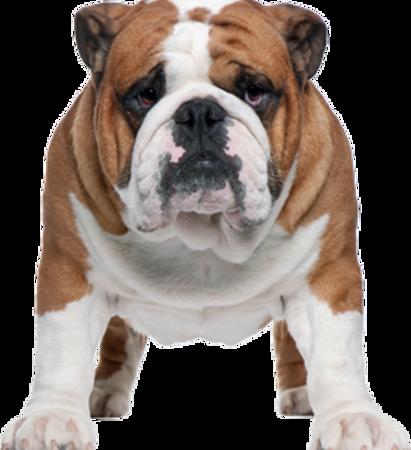 Bild für Kategorie Bulldog
