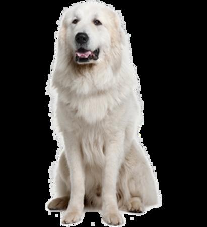 Bild für Kategorie Pyrenäen Berghund
