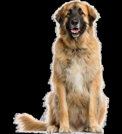 Bild für Kategorie Leonberger