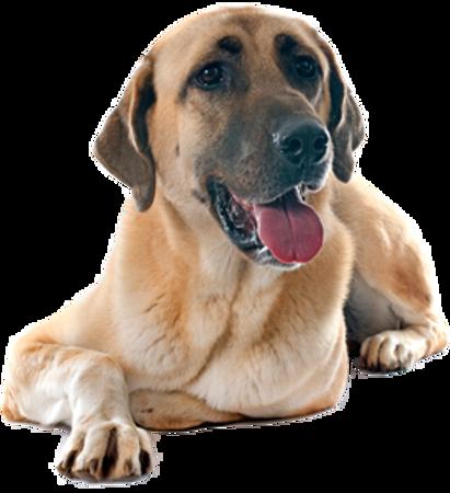Bild für Kategorie Anatolischer Hirtenhund