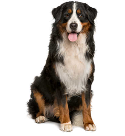 Bild für Kategorie Berner Sennenhund
