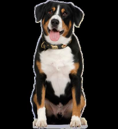 Bild für Kategorie Entlebucher Sennenhund