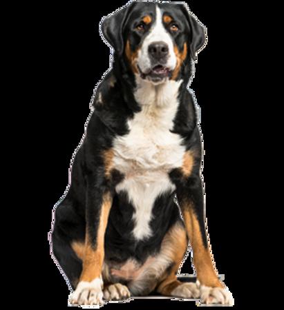 Bild für Kategorie Grosser Schweizer Sennenhund