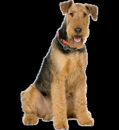 Bild für Kategorie Airedale Terrier