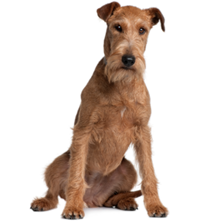 Bild für Kategorie Irischer Terrier