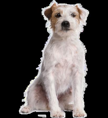 Bild für Kategorie Parson Russell Terrier