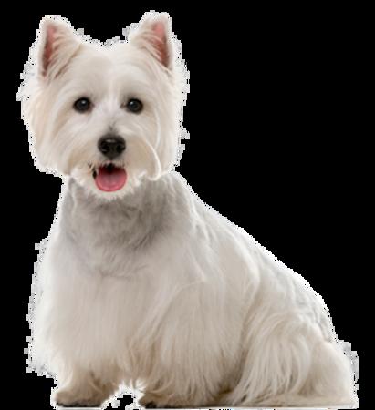 Bild für Kategorie West Highland White Terrier
