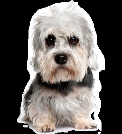 Bild für Kategorie Dandie Dinmont Terrier