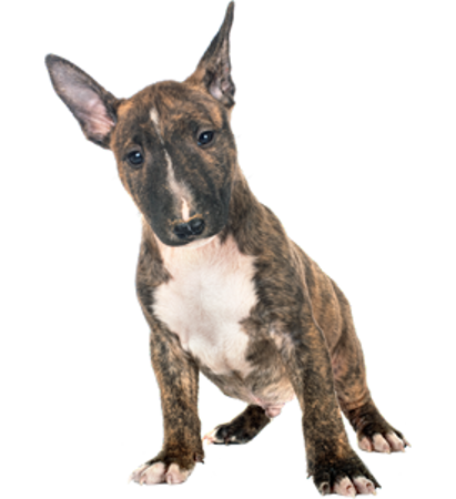 Bild für Kategorie Miniature Bull Terrier