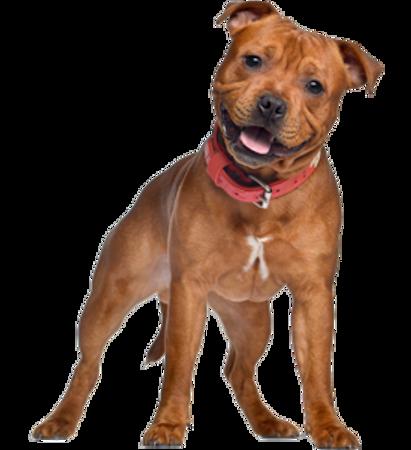 Bild für Kategorie Staffordshire Bull Terrier