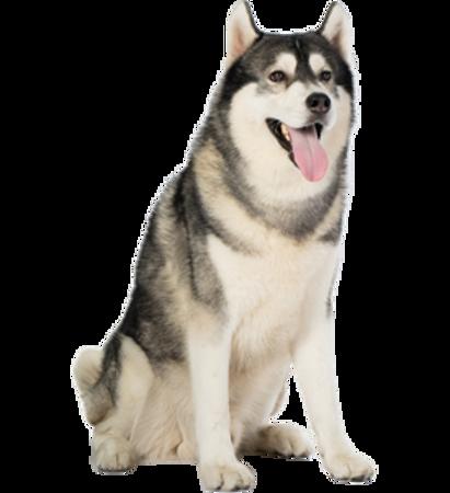 Bild für Kategorie Siberian Husky