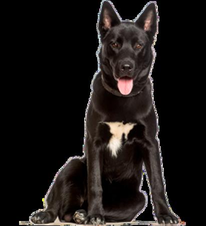 Bild für Kategorie Karelischer Bärenhund
