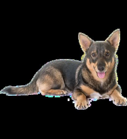 Bild für Kategorie Schwedischer Wallhund