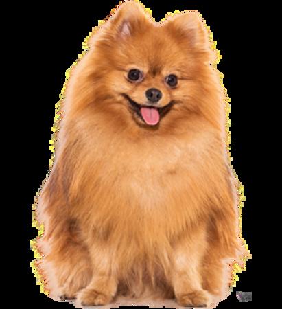 Bild für Kategorie Zwergspitz (Pomeranian)
