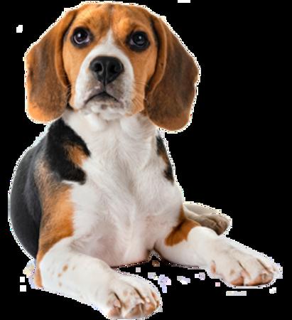 Bild für Kategorie Beagle