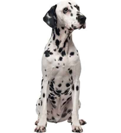 Bild für Kategorie Dalmatiner
