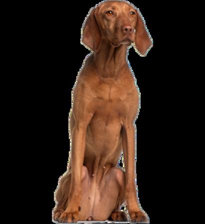 Bild für Kategorie Kurzhaariger Ungarischer Vorstehhund (Vizsla)