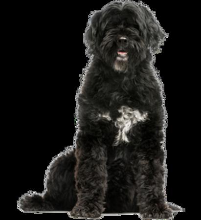 Bild für Kategorie Portugiesischer Wasserhund