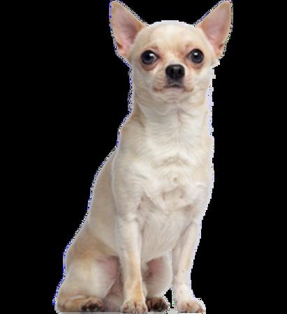 Bild für Kategorie Chihuahua