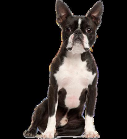 Bild für Kategorie Boston Terrier