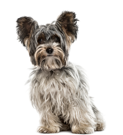 Bild für Kategorie Biewer Terrier