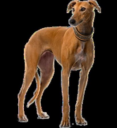 Bild für Kategorie Spanischer Windhund