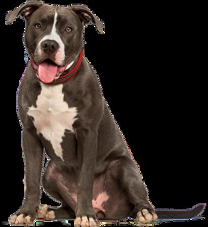 Bild für Kategorie American Pit Bull Terrier