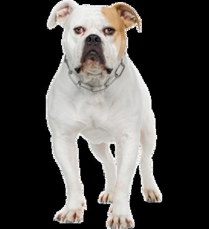 Bild für Kategorie American Bulldog