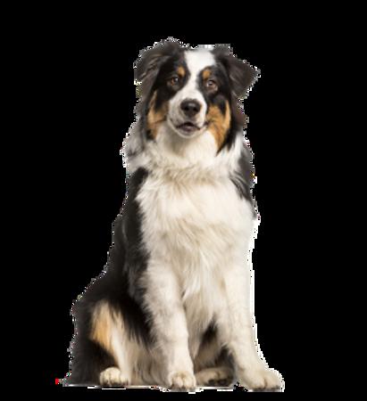 Bild für Kategorie Australischer Schaferhund
