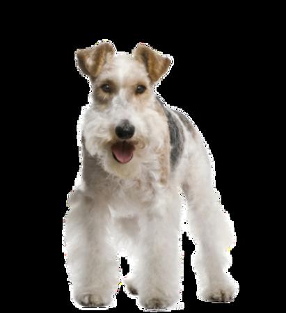 Bild für Kategorie Fox Terrier
