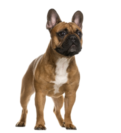 Bild für Kategorie Französische Bulldogge