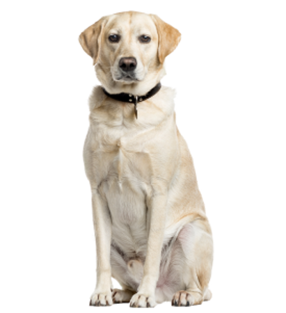 Bild für Kategorie Labrador Retriever