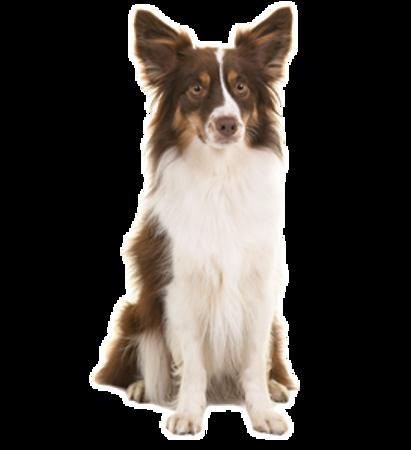 Bild für Kategorie Australischer Schaferhund- Miniature